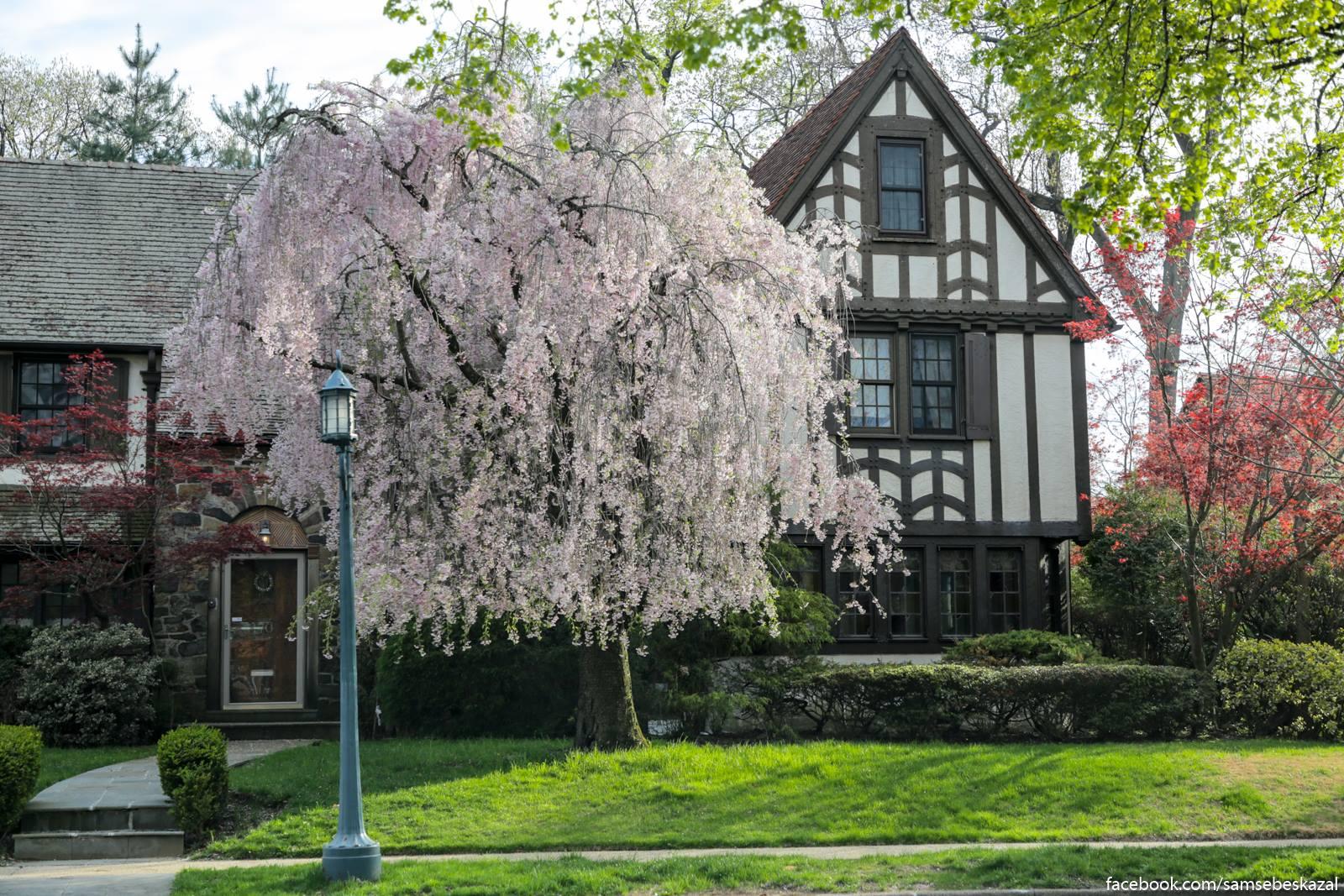 Vesna v Forest-Hills-Gardens. Kuins.